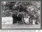 1900ca - Tausendjährige Linde Kleinraming
